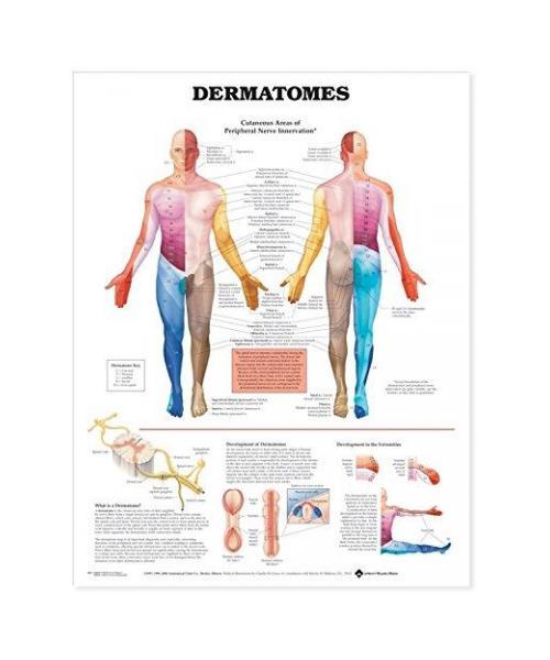 Dermatomes Anatomical Chart (paper)