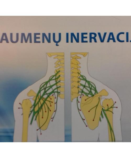 Raumenų inervacija