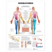 Dermatomes Anatomical Chart (paper)