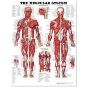 The Muscular System. Poster (paper)