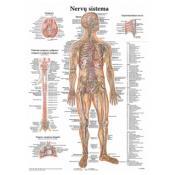Nervų sistema. Plakatas.