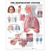 The Respiratory System Anatomical Chart 1 Chrt Edition